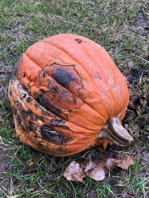 molded-rotting-pumpkin
