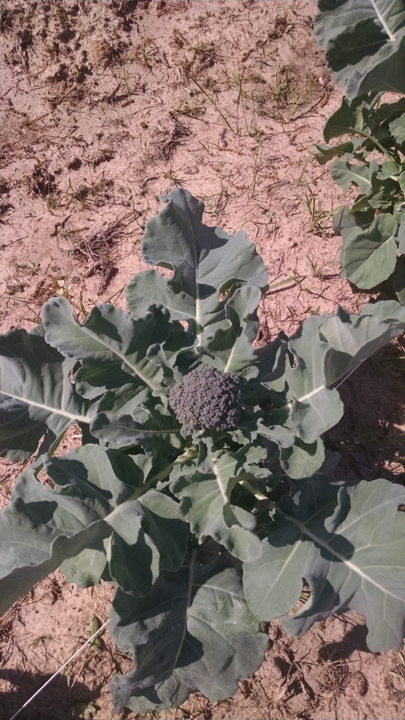 broccoli is growing