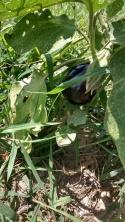 eggplant b